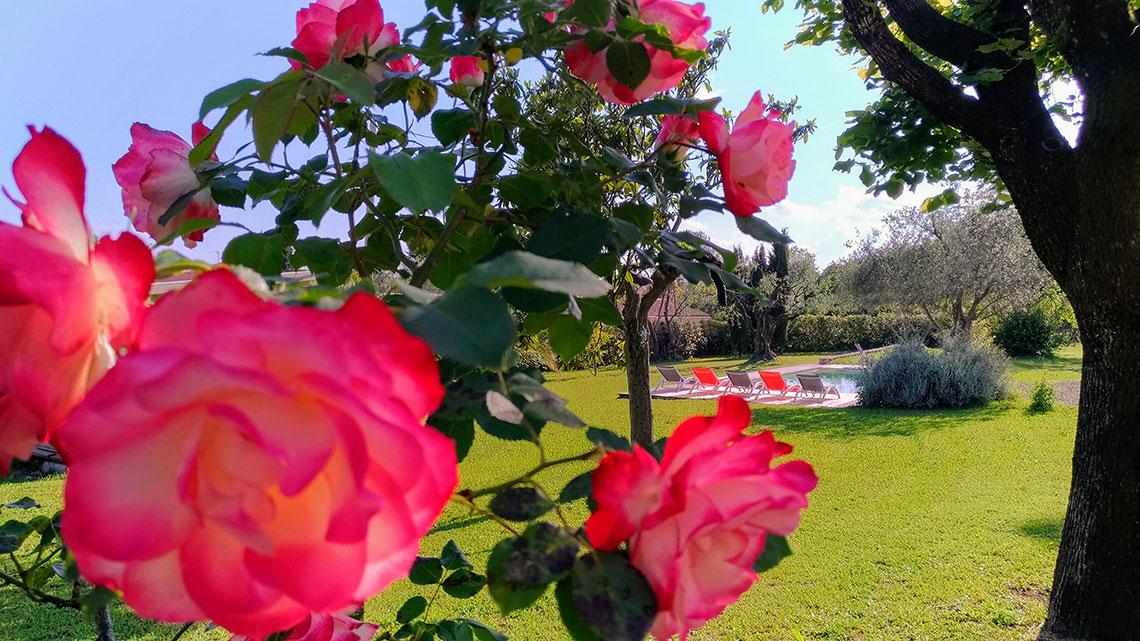 roses dans le jardin de l'Escale Provençale
