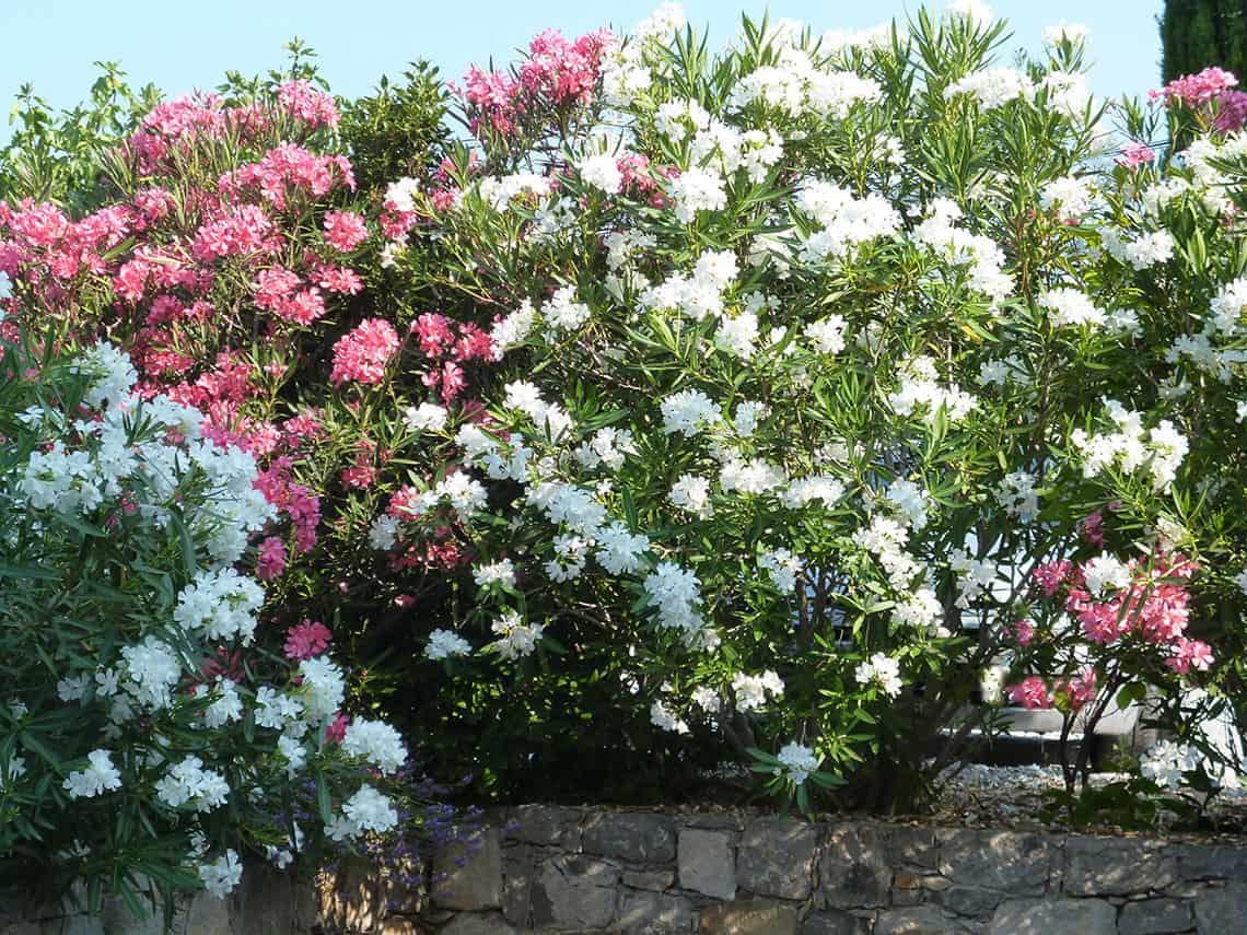 Lauriers fleurs dans le jardin