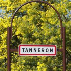 Forêt de mimosas à Tanneron